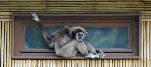 A white-handed gibbon sits in his enclosure at the Tierpark Friedrichsfelde zoo