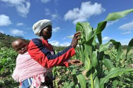 A woman checks maize crop