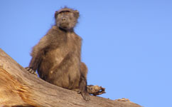 Baboons prefer dining with friends