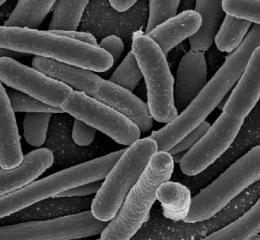 Bacteria may readily swap beneficial genes