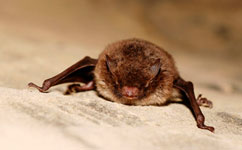 Bats only roost with their closest buddies