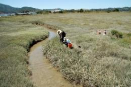 Bay wetlands may face losing battle against sea level rise