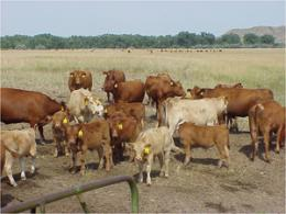 Beef study: Heifers don't have to be pigs at the feed bunk