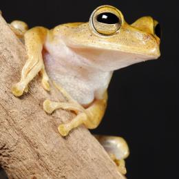 Biologist discovers new and wider varieties of frog species in amazon basin than previously recorded