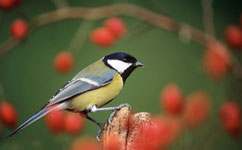 Birds benefit from knowing their neighbors