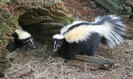 Black, white and stinky: Explaining coloration in skunks and other boldly colored animals