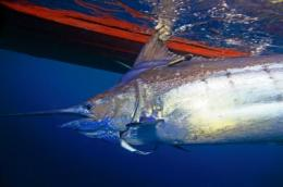 Blue marlin blues: Loss of dissolved oxygen in oceans squeezes billfish habitat