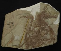 Boluochia closely related to longipteryx, study shows