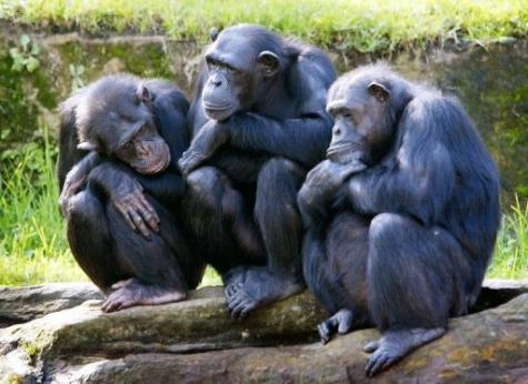 Chimpanzees are self-aware and can anticipate the impact of their actions on the environment around them, a study claims