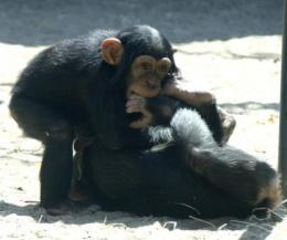 Chimps play like humans: Playful behavior of young chimps develops like that of children