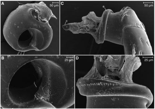 Papuan weevil has screw-in legs