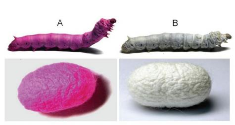 New silkworm diet produces colored silk and possible medical advantages