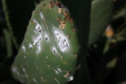 Cochineals sitting on a cacti in Spain