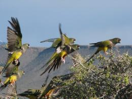 Colourful boundary trespassers: burrowing parrots crossed the Andes 120,000 years ago