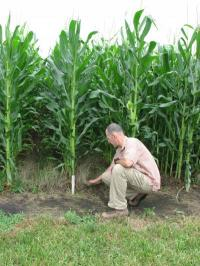 Corn yields with perennial cover crop are equal to traditional farming