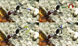 Death from above: Parasite wasps attacking ants from the air filmed for the first time