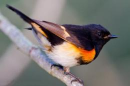 Declining rainfall is a major influence for migrating birds, scientists find