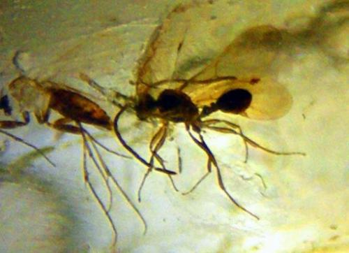 Detailed fossilized insect remains preserved in amber for over 23 million years