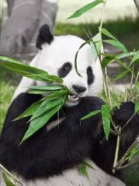 Panda poop may be a treasure trove of microbes for making biofuels