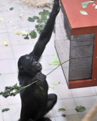 Djanoa, a female bonobo, has been named
