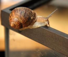 Do snails need their slime trails to move ahead? It's a sticky question