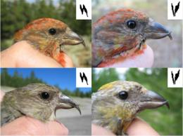 Seven sub-species stay in touch by their family dialects