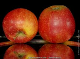 Elise apples suitable for most people with mild apple allergy