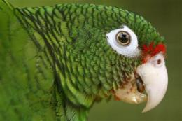 Endangered Puerto Rican parrot on the rise (AP)