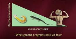 How can the salamander help fight degenerative disease?