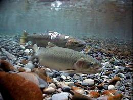 Evolution at warp speed: Hatcheries change salmon genetics after a single generation