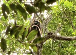 Expedition to search for hybrid gibbons