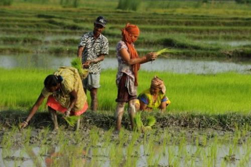 Farmers plant rice in a paddy field in Milanmore village on the outskirts of Siliguri last week