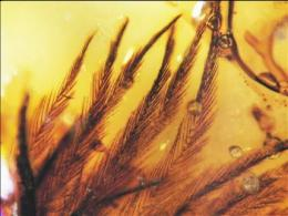 Feathers in amber reveal dinosaur diversity (AP)