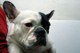 First French bulldog with sex reversal identified in Spain