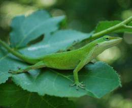 First lizard genome sequenced
