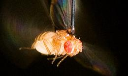 Flies' flight patterns rely on sense of smell