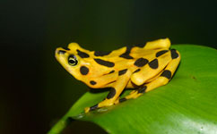 Frog trade link to killer fungus revealed