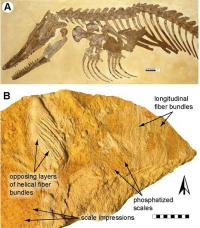 Pristine reptile fossil holds new information about aquatic adaptations