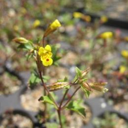Gene flow may help plants adapt to climate change