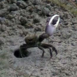 Giant claw helps fiddler crabs stay cool in more ways than one