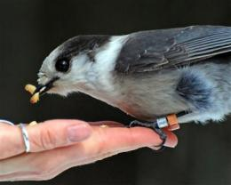 Gray jays' winter survival depends on food storage, study shows
