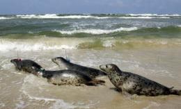 Grey seals are released on the southern coast near Czolpino, Poland, on the Baltic sea in 2005