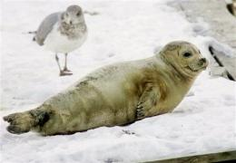 Harp seals from Canada take a liking to US waters (AP)