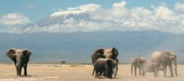 How female wisdom in old age helps elephants survive