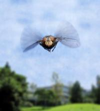 How the fly flies: Scientists discover gene switch responsible for flight muscle formation