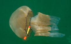 Hunting jellyfish threaten fish stocks