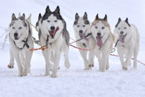 Huskies lend insight into mercury risk