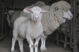 Insight into sheep memory bolsters husbandry standards