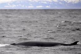 Japanese whale hunters have found traces of radioactive caesium in two Minke whales recently harpooned off its shores