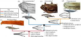 Researcher finds missing link between ancient toothed whales and modern baleen whales